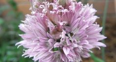 Chives: planting notes, harvesting and some recipes • SGA | Sustainable Gardening Australia