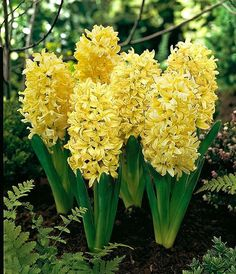 yellow hyacinth Jardins, quintais e flores