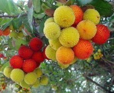 Son madroños, una fruta muy rica