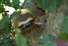 Sloths  So cute. Incensewoman