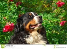 Cute Bernese Mountain Dog Royalty Free Stock Photography - Image ...