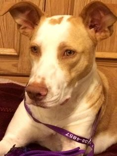 Adopted! Becca - Podengo Portugueso/Galgo Spanish Greyhound mix - Navarre, FL. 6 months old