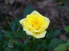 Yellow rose in garden