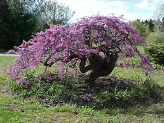 Lavender Twist Weeping Redbud...I will def be planting one of these at my house