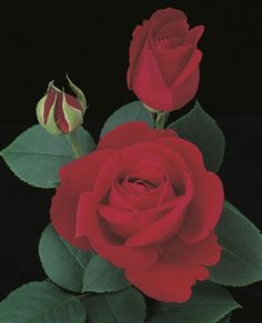 Love's Magic Hybrid Tea Rose - A proven performer that will make this big rose bush pleasing to the eye with its large red blooms.