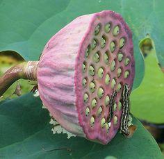 Nelumbo nucifera (Lotus) seedpod with caterpillars Exotic Flowers, Tropical Flowers, Lotus Flowers, Trees To Plant, Plant Leaves, Nelumbo Nucifera, Lotus Pods, Organic Mulch, Seed Pods