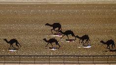 Drone shot - racing camel shadows, Dubai, UAE
