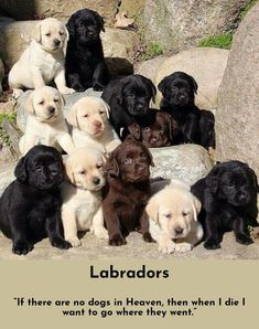 """I love them, they are so nice and selfish. Dogs are TOO good and unselfish. They make me feel uncomfortable. But cats are gloriously human."" #lovelabs #labrador #labradorretriever"