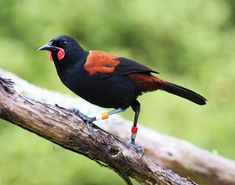 Make sure you vote in this years Bird of the Year 2013 for the Saddleback! Every vote counts so click the link and get voting ; Kiwiana, Birds 2, Reptiles And Amphibians, Flora And Fauna, Auckland, Animals Beautiful, New Zealand, Creatures, Tonga