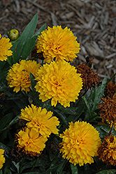 Click to view large photo of Golden Sphere Coreopsis (Coreopsis grandiflora 'Solanna Golden Sphere') at Bachman's Landscaping