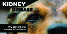 You probably know someone whose pet has kidney disease. It seems to be all too common these days, in both dogs and cats. While it mostly affects older pets, it can also be seen in …
