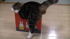 Internet Famous Maru The Cat Loves Boxes Heres An Experiment To See Just How Small Of A Box He Will Get