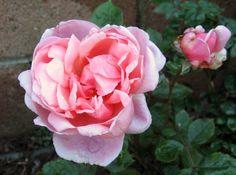 Austin English rose, 'Brother Cadfael'  my garden 2012