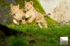 Leaping around is cool. | Four Baby Lion Cubs Have The Best Day Of Their Lives
