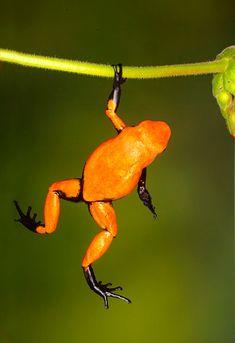 Poison dart frog (Dendrobates galactonotus), Brazil by Jim Zuckerman