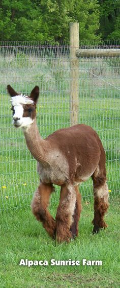 HUACAYA ALPACA. Alpaca Sunrise Farm is a full-service Alpaca farm since 1998 • Alpaca sales • breeding • boarding • Alpaca raw fiber, yarn, roving sales for knitters, crocheters, weavers and fiber artists. www.AlpacaSunrise... #alpaca #alpacas Sunrise Farm, Otters, Sheep, Goats, Alpacas, Camels, Fiber, Animals, Artists