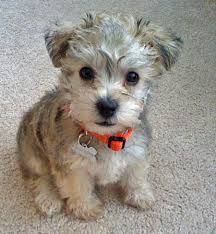 miniature schnauzer and poodle cross - Google Search