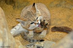 """The sand cat is also called the sand dune cat and you can also say """"the strongest cat on earth"""". Big Cats, Cats And Kittens, Sand Cat, Cute Fox, Endangered Species, Cat Art, Beautiful Creatures, Cat Lovers, Cute Animals"""