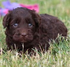Labradoodle puppy from Riverbend Labradoodles. Great dogs!
