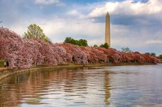 Cherry Blossom Festival in Washington D.C.