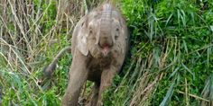 The last 1,500 pygmy elephants are in danger of extinction due to palm oil plantations' deforestation. PepsiCo uses 457,200 metric tons of palm oil each year. (20313 signatures on petition)
