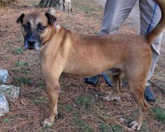 Toby /Shepherd / Labrador Retriever / Mixed::Male::Adult::Large |Unconditional Love Pet Rescue | 13 Stoppel Road, Eureka Springs, AR 72632