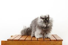Colonel Meow holds the Guinness World Record for longest fur on a cat. At two years old, the cat of constant consternation boasts strands of fur measuring up to 9 inches long. And lest you question the legitimacy of Colonel Meow's claim, please note that his fur was measured by three independent vets, who then sent their findings to Guinness World Records.