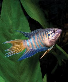 Adding Color to the Freshwater Aquarium: Singin' the Blues