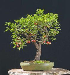 Walter Pall Bonsai cherry with fruits