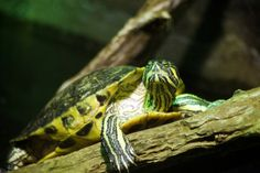 Yellow Belly Slider Turtle byThe Great Ash Tree