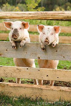 Pig Greetings