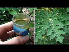 Hojas de papaya!! Cura definitiva para la diabetes y el cáncer. Testimonio! VIDEO