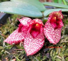 Miniature Orchid Bulbophyllum frostii - lil pink slippers made by Ghaia for the Forest Faeries. LoL.