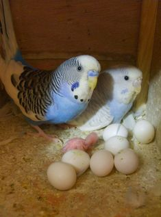 Trendy >> Funny Parakeets Talking #excellent
