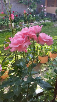 Roses, Plants, Pink, Rose, Plant, Planets