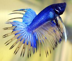 Fish | Betta splendens or betta fish is a beautiful fish with a small form ...