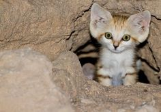 a little cub of Arabian Sand Cat (Felis margarita harrisoni) . Rare Animals, Cute Baby Animals, Animals And Pets, Funny Animals, Cute Kittens, Cats And Kittens, Big Cats, I Love Cats, Crazy Cats