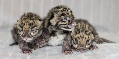 Nashville Zoo is pleased to announce the births of two litters of Clouded Leopard cubs. On March 26, Jing Jai gave birth to one female cub and Baylie gave birth to one male and one female. Due to the high mortality rate of Clouded Leopard cubs raised by their parents and the rarity of the species, all three are being hand-raised by the Zoo's animal care staff. Today on ZooBorns: http://www.zooborns.com/zooborns/2013/04/nothing-says-its-springtime-like-the-birth-of-clouded-leopard-cubs.html