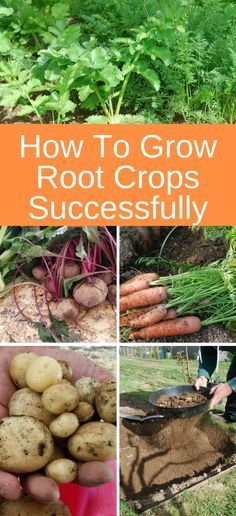 Tips for how to grow root crops successfully #gardening #rootvegetables #organicgardening #farmtotable