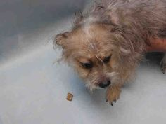 PITO – A1092543  **DOH HOLD 10/06/16**  MALE, TAN / GRAY, SCHNAUZER MIN MIX, 1 yr OWNER SUR – EVALUATE, HOLD FOR DOH-B Reason BITEPEOPLE Intake condition EXAM REQ Intake Date 10/06/2016, From NY 11213, DueOut Date 10/16/2016,