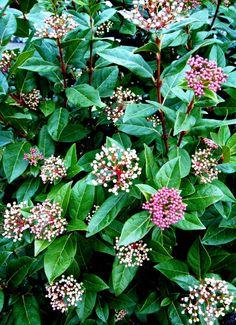 Viburnum 'Spring Bouquet'