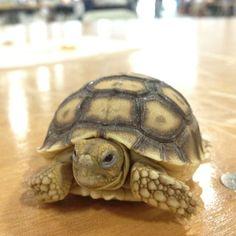 Ozzie- Sulcata tortoise hatchling