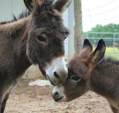 Cobra Miniature Donkeys, Miniature Donkey Babies, ...  legendaryfarms.com