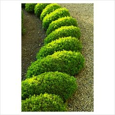 GAP Photos Garden Plant Picture Library Box parterre in the