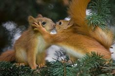 """Kissing Squirrels or """"Gimme back my nut!"""""""