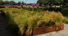 Allium met Stipa strakke combinatie van Van Ree Groenspecialisten