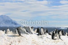 Chinstrap penguins in Antarctica - Buy this stock photo and explore similar images at Adobe Stock Red Bill, Antarctica, Penguins, Nest, Frozen, Wildlife, Birds, Ice, Snow
