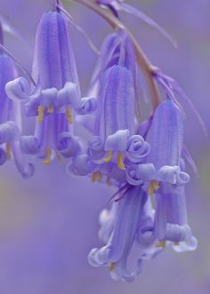 ~~Bluebells by Dr Steven Murray~~