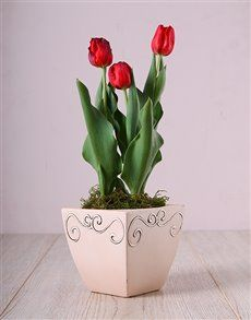 plants: Red Tulips in Ceramic Pot! Pink Happy Birthday, Happy Birthday Candles, Elizabeth Arden Red Door, Planting Tulips, Amazing Red, Perfect Plants, Flower Pots, Flowers, Heart Balloons