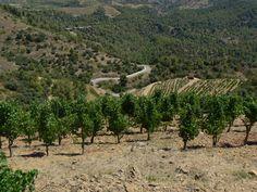 Clos l'Ermita vineyard, Priorat, Spain